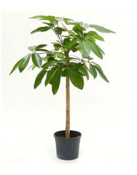 Schefflera Capella op stam