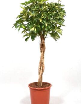 Schefflera Gold Capella op stam